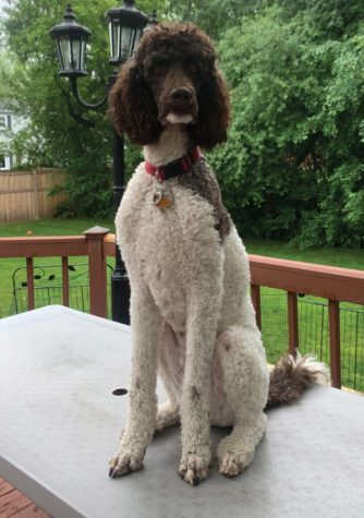 Weasley, a dog, poses on a table for a picture outside