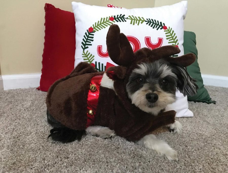 TayTay, a dog, sits in front of a decorative pillow while wearing a reindeer costume.