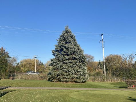 Evergreen tree in a park